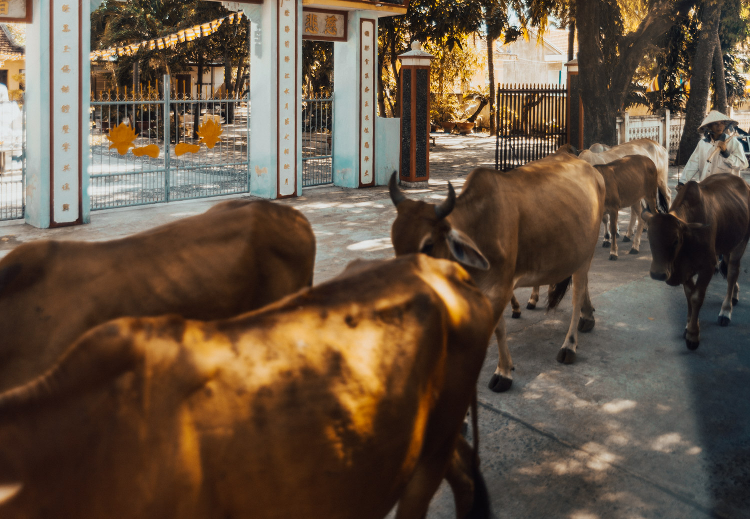 Cows in Phu Yen, Vietnam