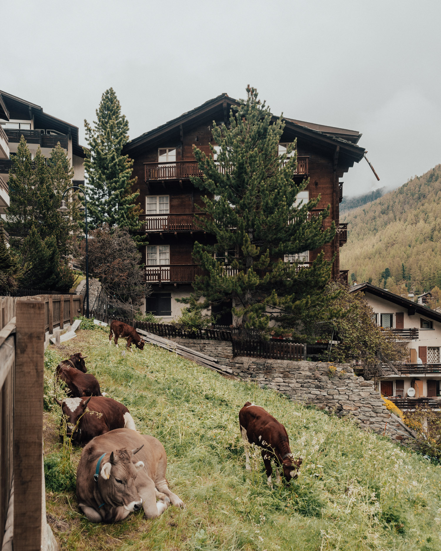 Cows in Zermatt Village