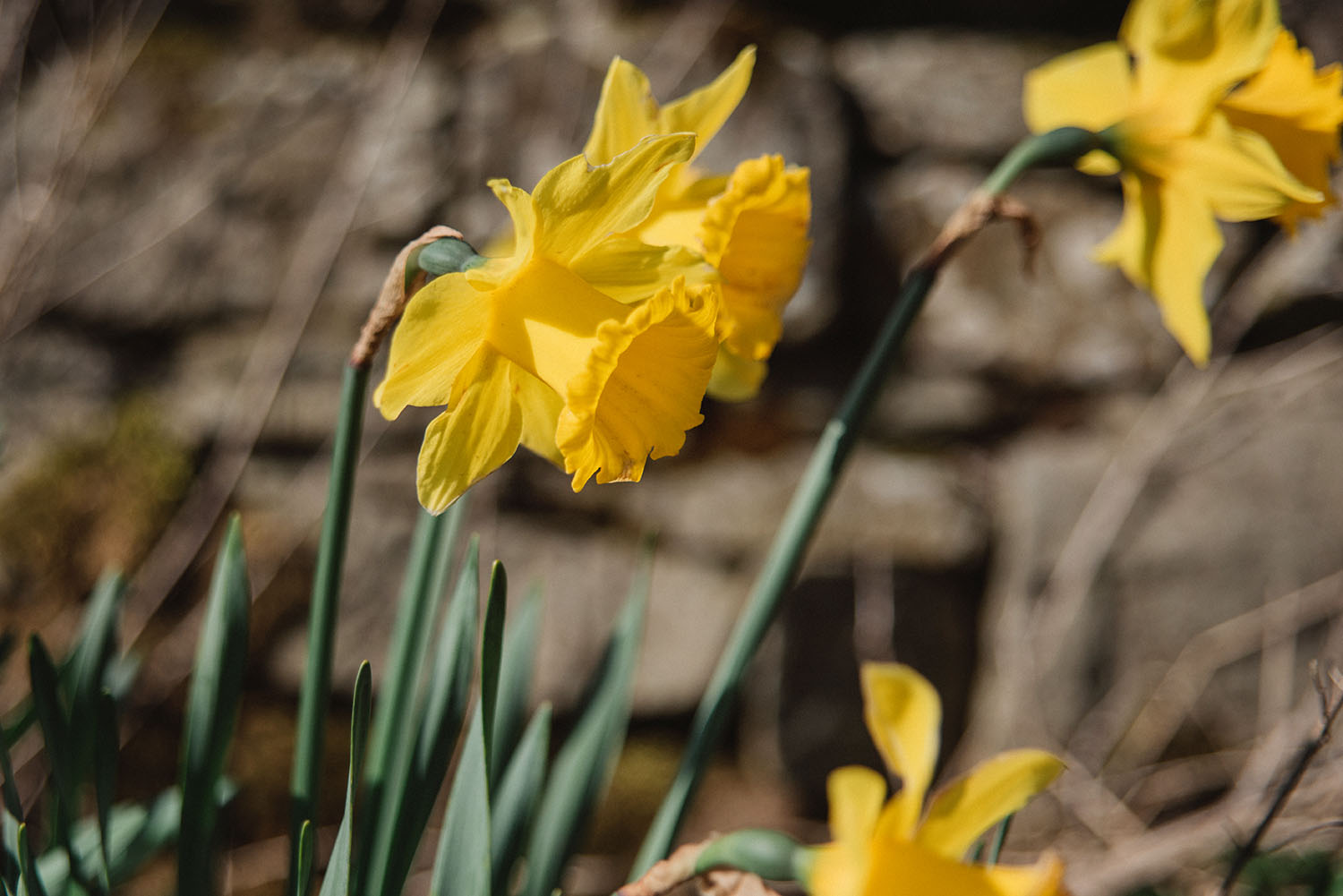 William Wordsworth - Daffodils about Ullswater