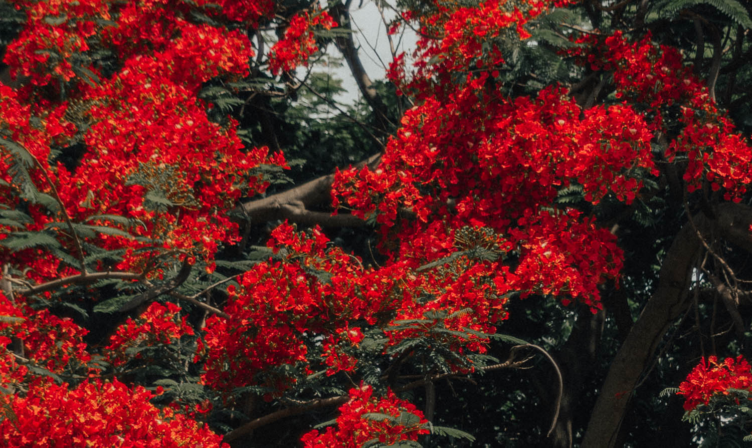 Beautiful tree with red flowers in Jamaica