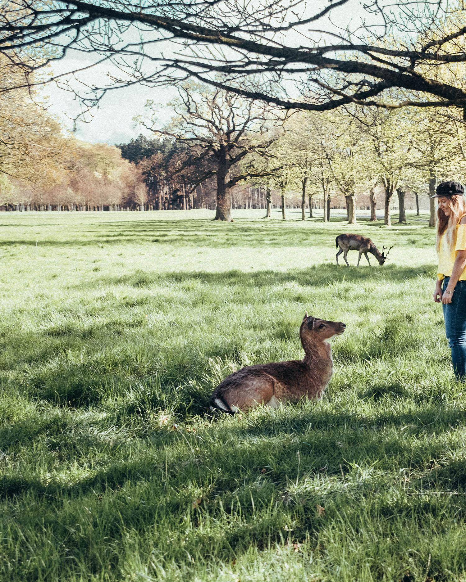 Deers in Phoenix Park, Dublin