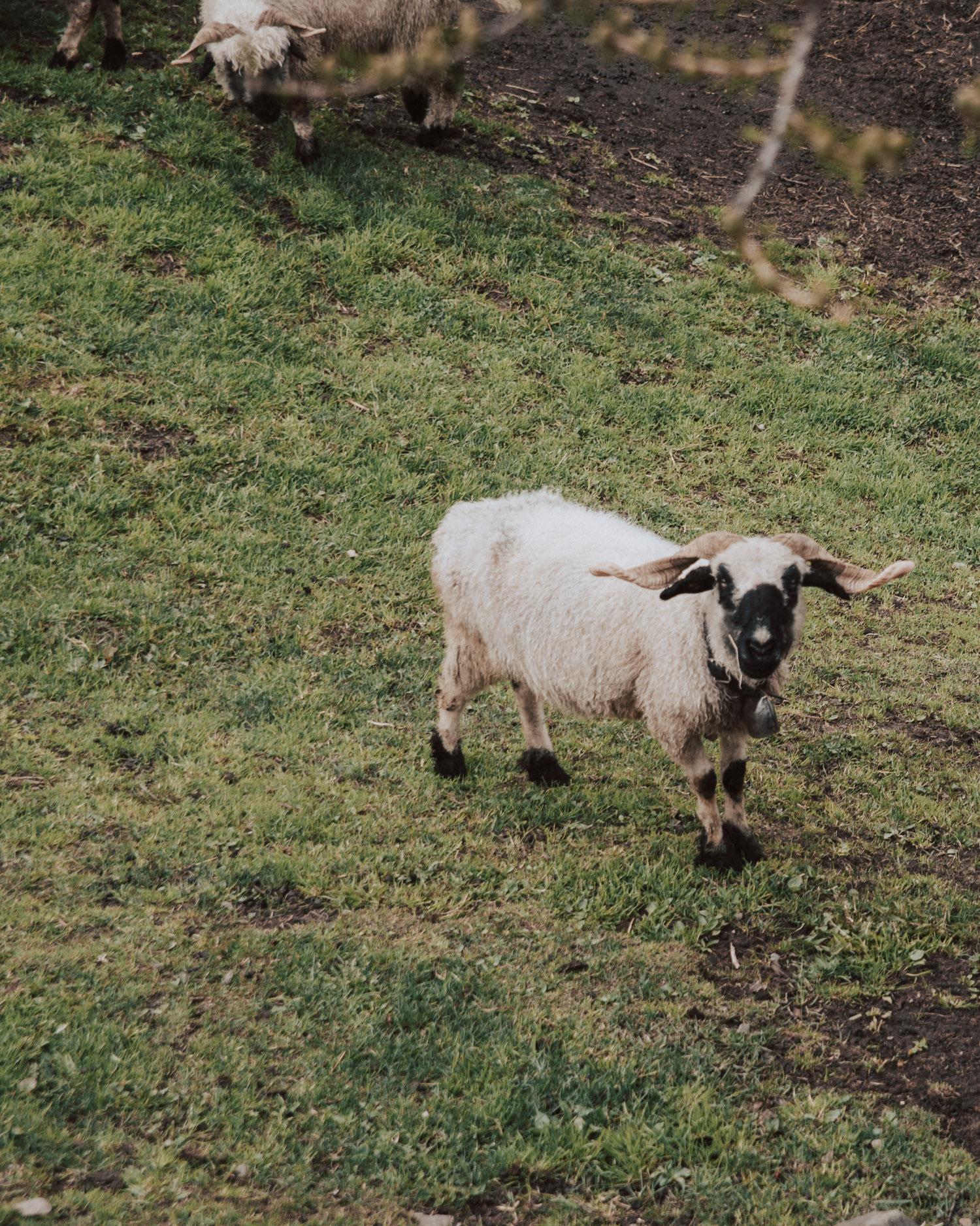 Blacknose sheep in Zermatt