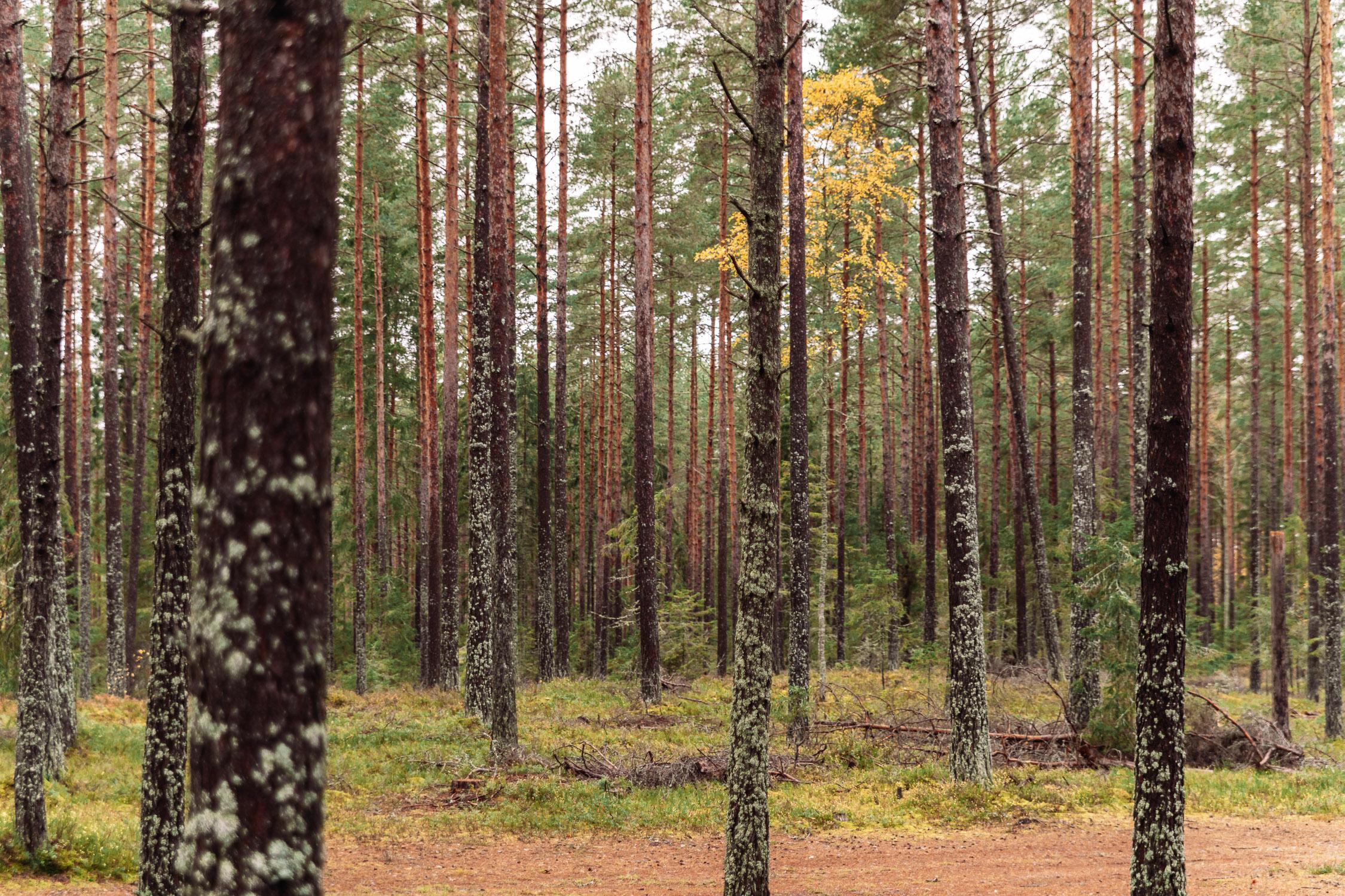Pine woods in Brevens Bruk, Örebro