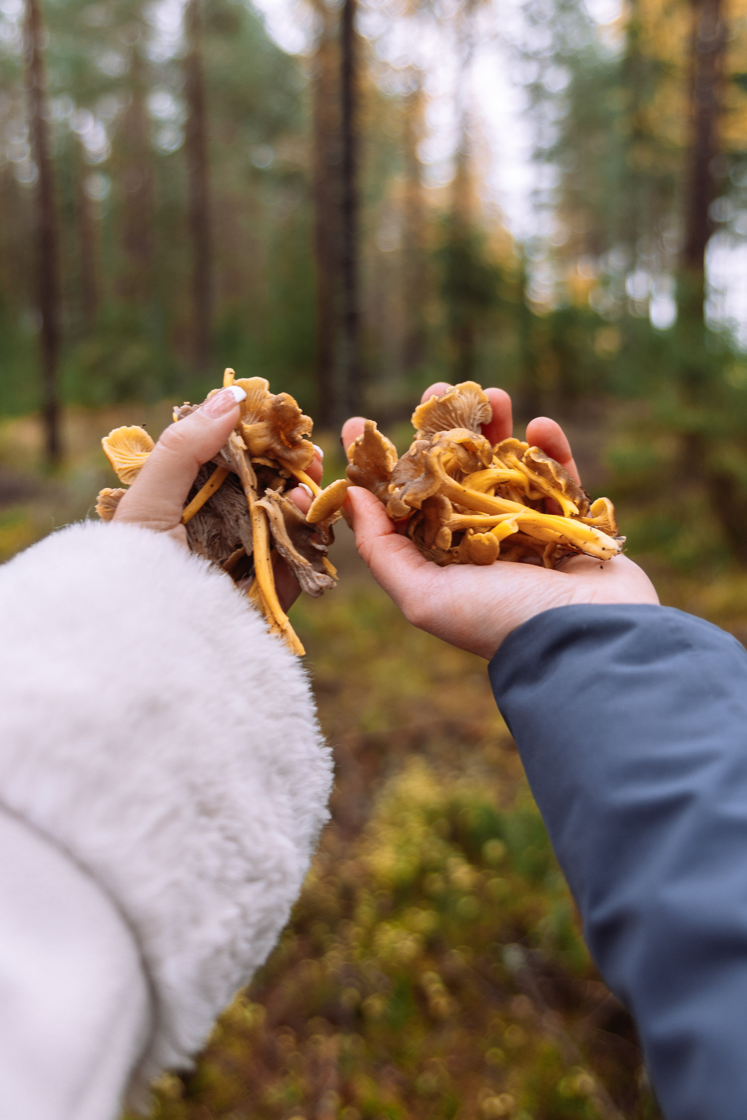 Fresh chanterelles picked in Brevens Bruks forest in Örebro.